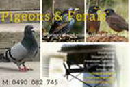 Pigeons and Ferals