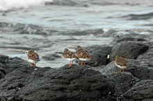 Ruddy turnstones © Big Volcano